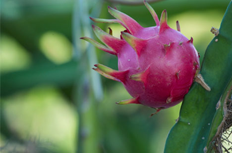 Pink Dragon Fruit also called Pitaya