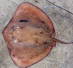 Stingray from Indo-Pacific Ocean